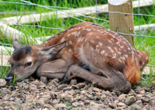 Photo of newly born red deer calf